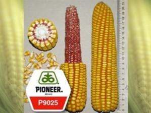 Гибрид семян кукурузы Пионер: купить выгодно в ассортименте